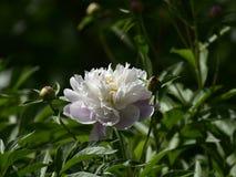 Vetenskapligt namn för Paeonialactiflora: Paeonialactiflorabår , premiärminister i blommor Royaltyfria Foton