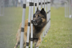 Veteran dog running slalom on agility. Old veteran dog running slalom on agility competition. He is very attentive and looking his owner for next command Stock Image