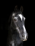 Veteran Horse Stock Images