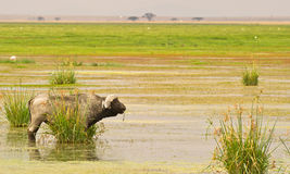 A veteran male African Buffalo Royalty Free Stock Photography
