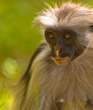 Veteran among the Zanzibar Red Colobus Royalty Free Stock Photos
