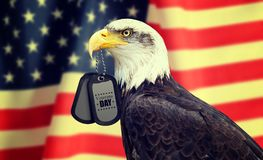 Veterans Day Concept. Bald Eagle holds a dog tags in his beak against a American Flag. Veterans Day Concept stock images