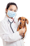 Veterinário asiático da mulher com cão do bassê Fotografia de Stock Royalty Free