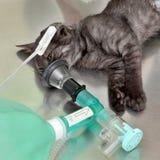 Veterinário, cirurgia do gato Imagens de Stock