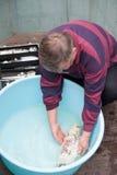 Veterinário com peixes do koi Fotos de Stock