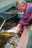 Veterinário com peixes do koi Imagens de Stock Royalty Free