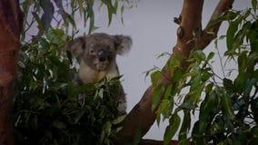 Veterinário do movimento lento que dá a medicamentação à coala doente Medicina através da boca filme