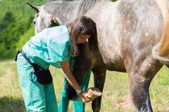 Veterinário em uma exploração agrícola Foto de Stock Royalty Free