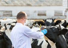Veterinário no gado da exploração agrícola fotografia de stock royalty free