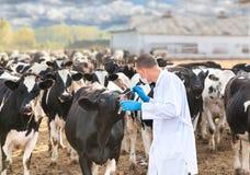 Veterinário no gado da exploração agrícola fotos de stock