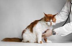 Veterinário que examina um gatinho foto de stock