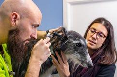 Veterinário que explora a orelha de um galgo junto com seu proprietário fotografia de stock royalty free
