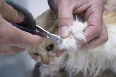 Veterinär- bitande spikar katten arkivbilder