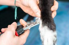 Veterinär, die Nägel eines Windhunds in einer Klinik schneiden lizenzfreies stockbild