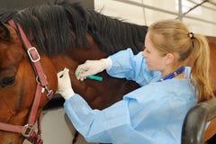 Veterinär- doktor med hästen