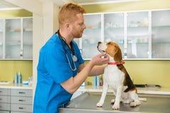 Veterinär- examing gullig beaglehund Royaltyfria Foton