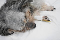 Veterinär- ge vaccinen till hunden royaltyfri bild