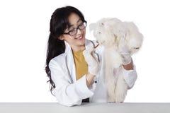Veterinär- geende mellanmål på en maltese hund Fotografering för Bildbyråer