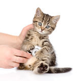 Veterinär- hand som undersöker en skotsk kattunge Isolerat på vit royaltyfria foton