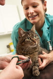 Veterinär- kirurg för kvinnlig och undersökande katt för sjuksköterska royaltyfri foto