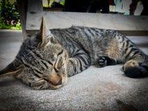 Veterinär- kirurg som steriliserar en tillfällig katt Royaltyfria Bilder