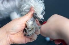 Veterinär- klippa spikar av en miniatyrschnauzer i en klinik royaltyfri foto