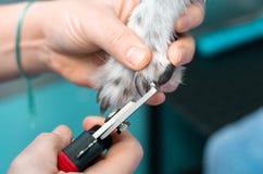 Veterinär- klippa spikar av en vinthund i en klinik royaltyfri bild