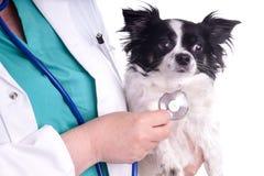 Veterinär och hund, Chihuahua royaltyfria foton