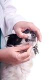 Veterinär och hund, Chihuahua arkivfoto