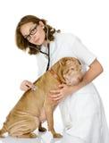 Veterinär som kontrollerar hjärtahastigheten av en vuxen sharpeihund. Arkivfoton
