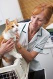 Veterinär som tar Cat Out Of Carrier For undersökning Fotografering för Bildbyråer