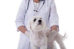 Veterinär som undersöker en gullig maltese hund som isoleras Royaltyfria Foton