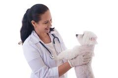 Veterinär som undersöker en gullig maltese hund som isoleras Arkivfoton