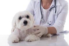 Veterinär som undersöker en gullig maltese hund på tabellen som isoleras Arkivbild