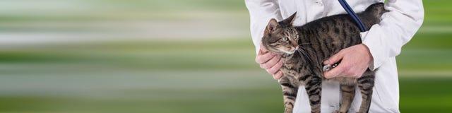 Veterinär som undersöker en katt royaltyfri foto
