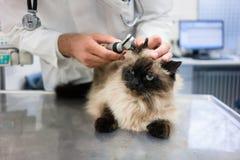 Veterinär- undersökande katt royaltyfri bild