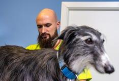 Veterinärberatung, Tierarzt, der einen Windhund kontrolliert stockfotografie