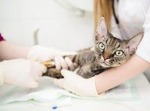 Veterinären ger medicinsk vård till den sjuka katten Royaltyfria Bilder