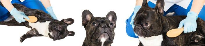 Veterinären kammar hundens päls, fotouppsättning arkivfoton