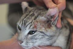 Veterinären läker kattens öga Royaltyfria Bilder