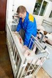 Veterinären manipulerar undersökande pigs på en piglantgård royaltyfri bild