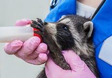 Veterinären matar en tvättbjörn från en flaska royaltyfri fotografi