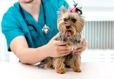 Veterinären räcker den hållande Yorkshire Terrier hunden på undersökningstabellen royaltyfri bild
