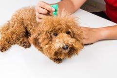 Veterinären som applicerar fästingar, löss och kvalsterar kontrollerar medicin på hund royaltyfri foto