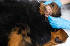 Veterinären som doktorn gör ren öron, wadded den sjuka hunden för pinnar Behandlinghundkapplöpningen har veterinären royaltyfri bild