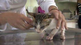 Veterinären som undersöker och, behandlar en kattunge lager videofilmer