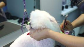 Veterinären torkar hundhåret med en hårtork och kammar en hund Bichon Frise arkivfilmer