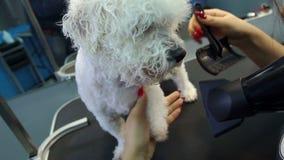 Veterinären torkar hundhåret med en hårtork och kammar en hund Bichon Frise stock video