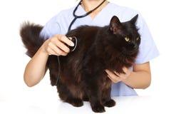 Veterinären undersöker en katt Royaltyfri Bild