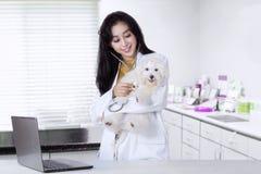 Veterinären undersöker en maltese hund Fotografering för Bildbyråer